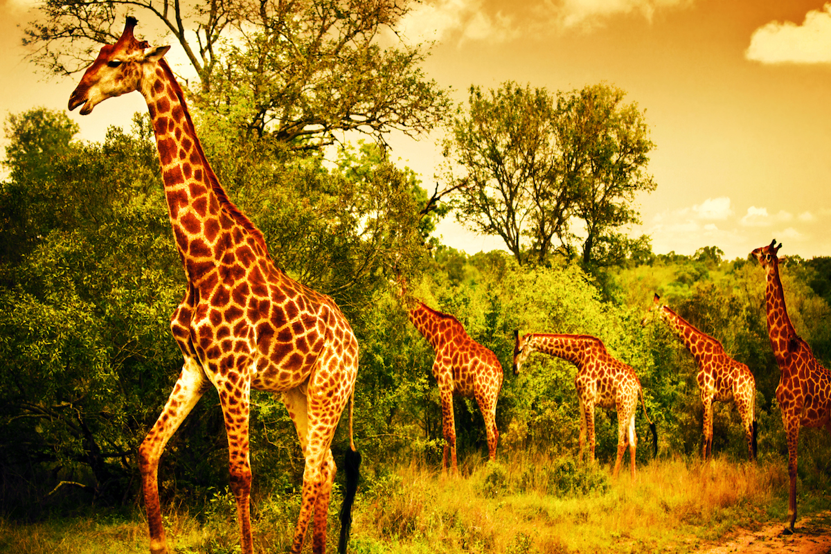 Image of a South African giraffes, big family graze in the wild forest, wildlife animals safari, Kruger National Park, bushes of Sabi Sand game drive reserve, beautiful nature of Africa continent