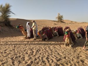 Camels in Heritage Desert Tour