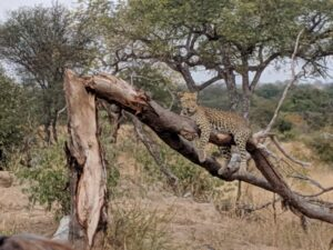 A leopard on the branch in Kruger area